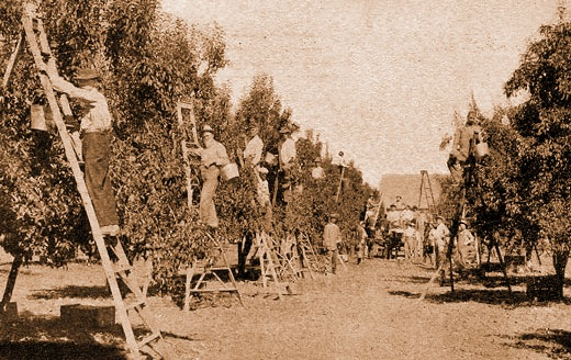Pear Picking Near Medford, 1910